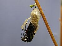 羽化中の成虫